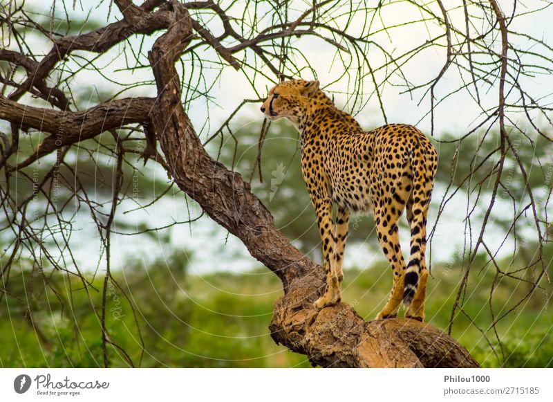 Cheetah perched on a dead tree Beautiful Vacation & Travel Safari Nature Animal Park Cat Wild Samburu Africa african animals big Carnivore Kenya Mammal national