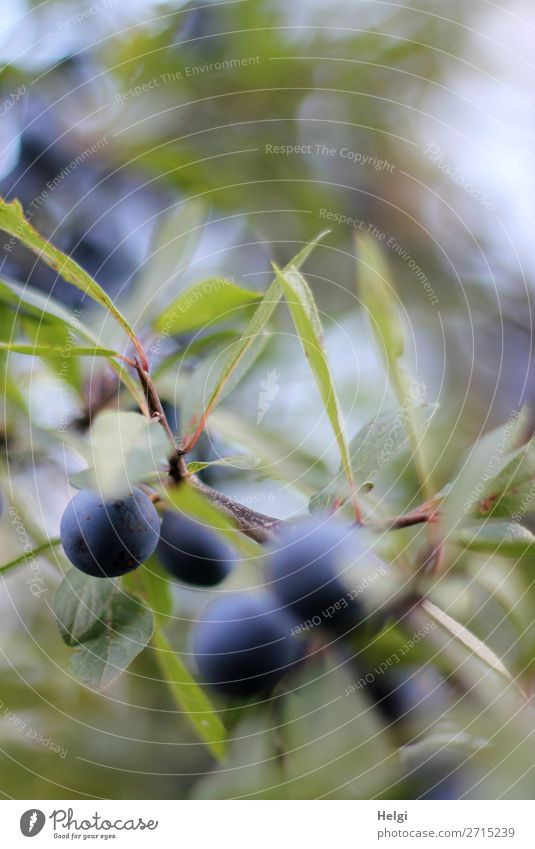 Nature Plant Blue Green Leaf Autumn Environment Natural Small Brown Gray Fruit Growth Bushes Uniqueness Round
