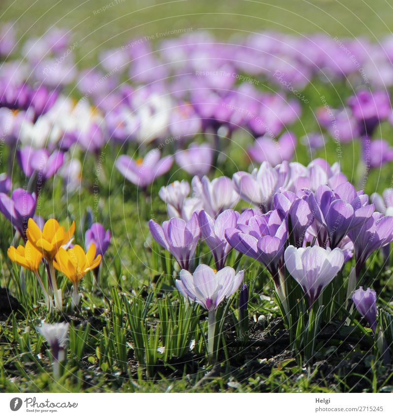 many purple and three yellow crocuses on a meadow against the light Environment Nature Landscape Plant spring Beautiful weather flowers Grass flaked bleed Park