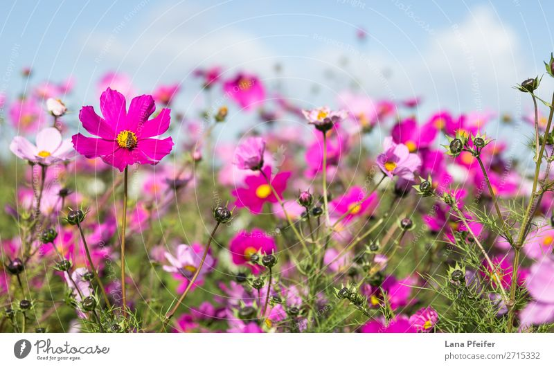 Close up of Cosmos blooming Nature Plant Jump Yellow Pink Aster Background picture beautiful blossom botanical Shopping malls colorful copy space cultivated