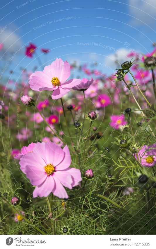 Close up of Cosmos blooming Nature Plant Yellow Pink Aster Background picture beautiful blossom botanical Shopping malls colorful copy space cultivated field