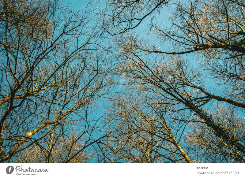 Tree tips pointing to the sky illuminated by the sunlight Beautiful Environment Nature Plant Sky Autumn Forest Growth Thin Natural Above Blue Top branches