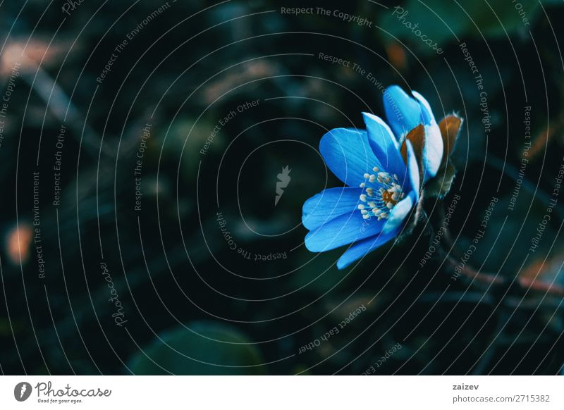 Close-up of a blue anemone hepatica flower in the wild Beautiful Fragrance Wallpaper Nature Plant Flower Blossom Forest Growth Fresh Natural Wild Blue Green