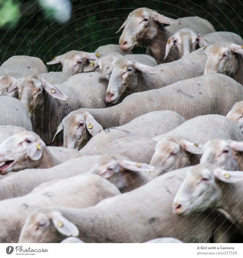 as they came tumbling out of the woods Animal Farm animal Herd Running Movement Jump Athletic Natural Flock Sheep Many Landscape Subdued colour Exterior shot