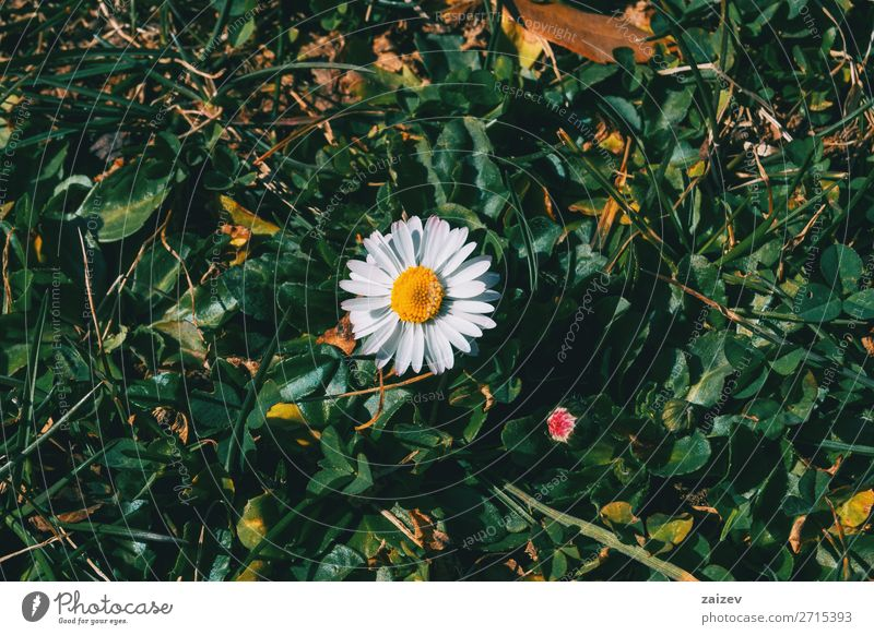 Close-up of an isolated daisy flower Beautiful Life Wallpaper Nature Plant Flower Leaf Blossom Garden Park Meadow Field Forest Growth Wild Yellow Green White