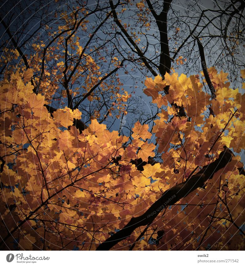 Autumn is coming soon Nature Landscape Plant Sky Climate Beautiful weather Tree Leaf Twigs and branches Maple tree Deciduous tree Autumn leaves Faded To dry up