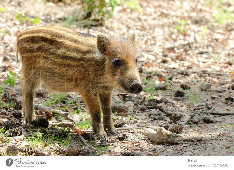 little newbie stands alone on a forest path Environment Nature Animal Spring Beautiful weather Plant Grass Forest Wild animal Young boar 1 Baby animal Looking