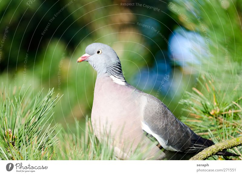 Pigeon deaf columbidae dove Wild Bird Animal fauna mascot feather dress Looking Observe tree crown Conifer Pine Twig Feather Sit Wing Wood Beak Flying