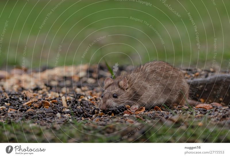 rat Environment Nature Plant Animal Spring Summer Autumn Winter Beautiful weather Grass Garden Park Meadow Field Wild animal Mouse Animal face Pelt Paw Rat