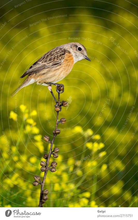 Slim bird on a slim branch Beautiful Life Man Adults Environment Nature Animal Flower Moss Bird Stone Small Natural Wild Brown Yellow White stonechat wildlife