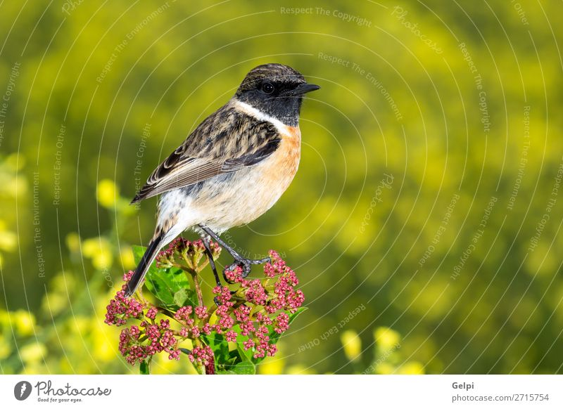 Beautiful wild bird Life Man Adults Environment Nature Animal Flower Bird Small Natural Wild Brown Yellow Red White stonechat wildlife common perched background