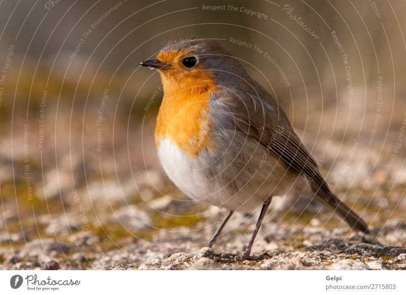 Pretty bird With a nice orange red plumage Nature Man Beautiful White Flower Animal Adults Life Yellow Environment Natural Small Stone Bird Brown Wild
