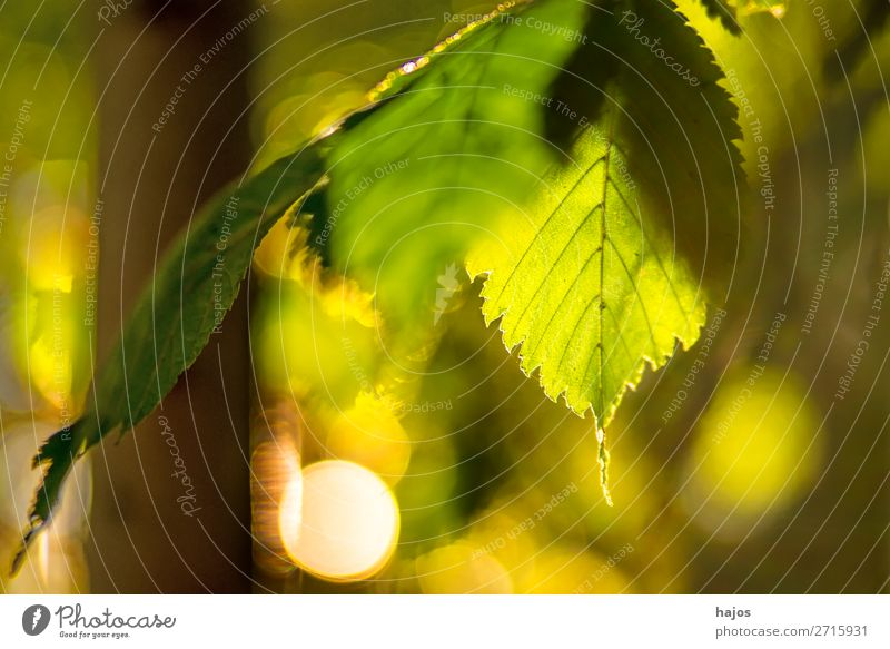 beech, leaf in backlight in autumn Nature Tree Green Leaf Back-light Sun Bright luminescent warm beam reflections Autumnal Forest Depth of field low
