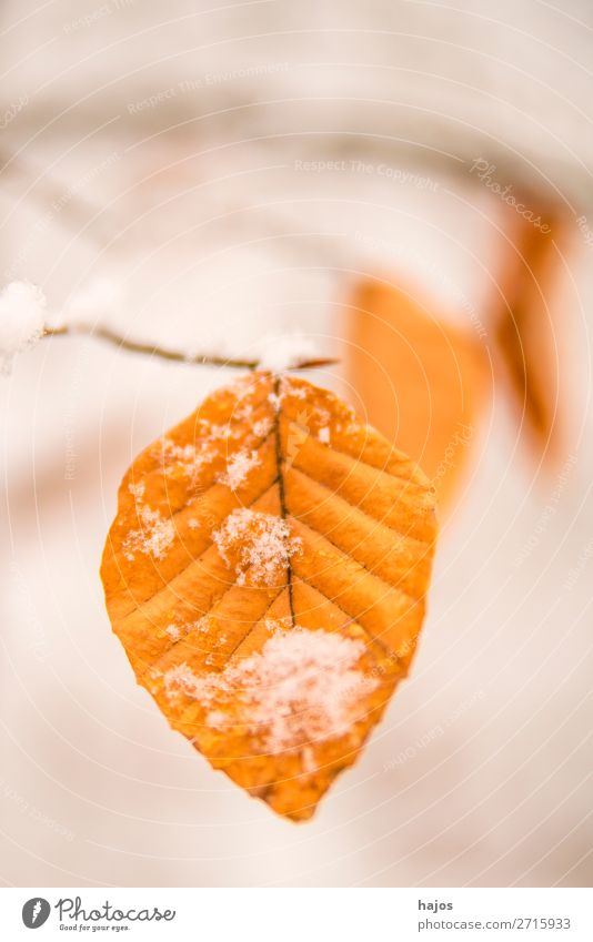 Beech leaf in the snow Winter Nature Brown White Leaf Alpina snowcap Season close-up Tree Forest Snow snowy Colour photo Deserted Copy Space top