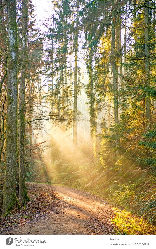 Sunbeams in the forest Relaxation Winter Nature Warmth Forest Soft Idyll Stage lighting Light (Natural Phenomenon) forest path Bright Beautiful Fabulous Mystic