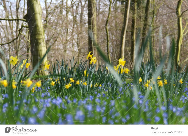 Narcissus and blue spring flowers between trees in the park Environment Nature Landscape Plant Spring Beautiful weather Tree Flower Leaf Blossom Wild daffodil