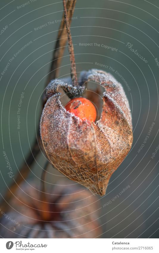 physalis Fruit Nature Plant Elements Winter Ice Frost Blossom Physalis Chinese lantern flower Garden Cold Brown Orange Turquoise White Moody Design Colour photo