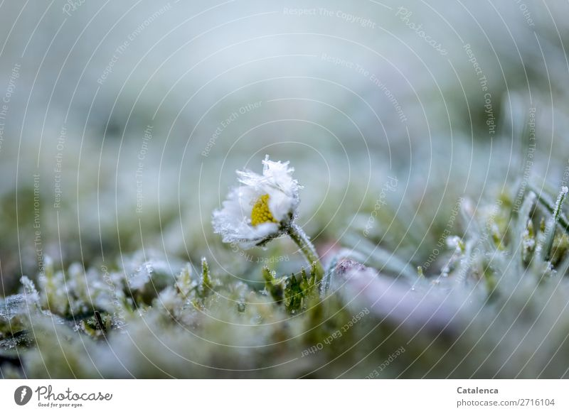 daisies Nature Plant Elements Winter Ice Frost Flower Grass Moss Leaf Blossom Wild plant Daisy Garden Meadow Ice crystal Blossoming Freeze Faded Cold Small