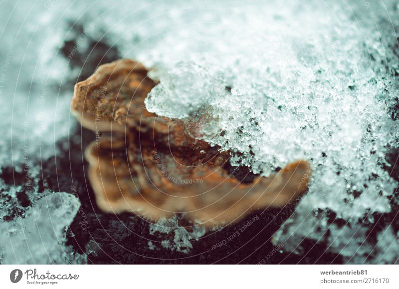 Ice on bracket fungus close-up Fruit Winter Snow Environment Nature Plant Autumn Forest Growth Brown close to plant attribute Mushroom edible mushroom