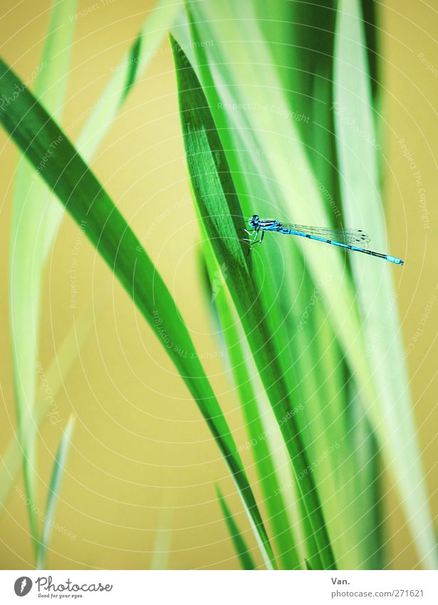 docked Nature Plant Animal Spring Grass Blade of grass Garden Wild animal Dragonfly Insect 1 Flying Fresh Bright Beautiful Blue Green Colour photo Multicoloured