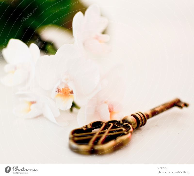 key to the heart Key Flower Orchid White Green Gold Copy Space top Shallow depth of field Still Life Old Metal Blossom Blur Brass Love Expectation Anticipation