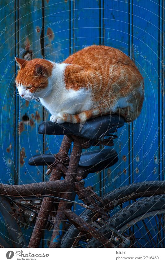 Red tiger cat sits on a bicycle saddle before blue door. Wall (barrier) Wall (building) Transport Means of transport Cycling Animal Pet Cat Happy Astute