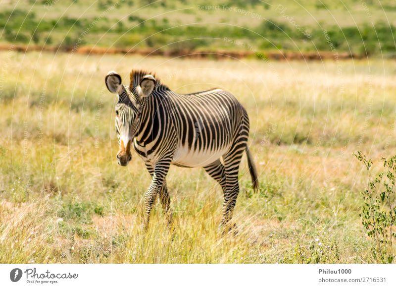 Isolated zebra walking in the savannah Playing Safari Mountain Nature Animal Sky Grass Park Stripe Natural Wild Black White Samburu Africa african cape equus