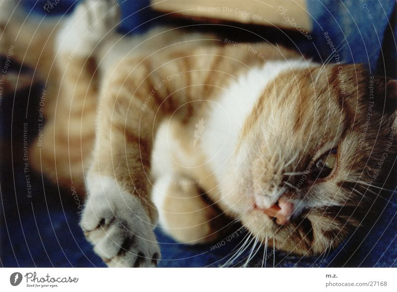 tiger Cat Paw Blur Domestic cat loll Cozy Cuddly Cute Posture Cat's paw Shallow depth of field Close-up Deserted 1 Soft