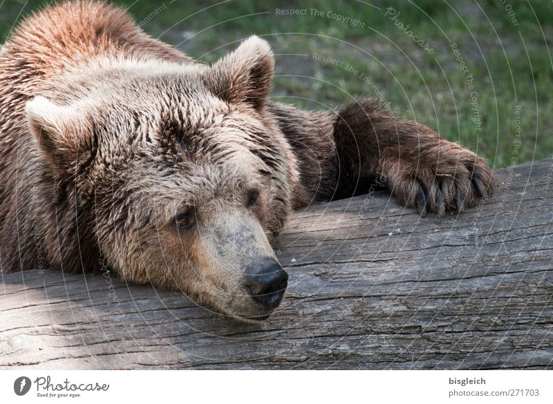 Animal Calm Relaxation Dream Brown Lie Wild animal Sleep Soft Pelt Animal face Serene Zoo Bear
