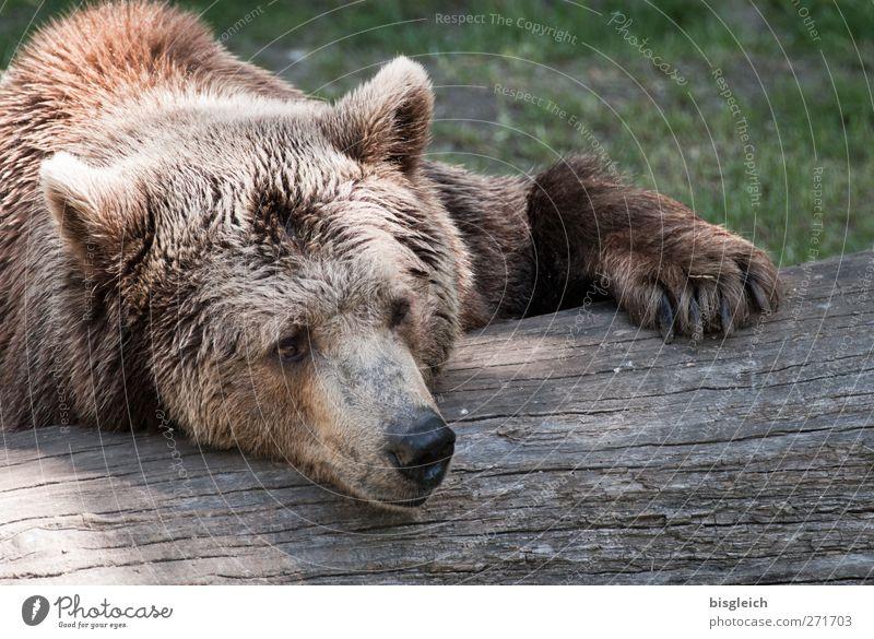 sluggard Zoo Animal Wild animal Animal face Pelt Bear 1 Relaxation Lie Sleep Dream Soft Brown Serene Calm Colour photo Exterior shot Deserted Day