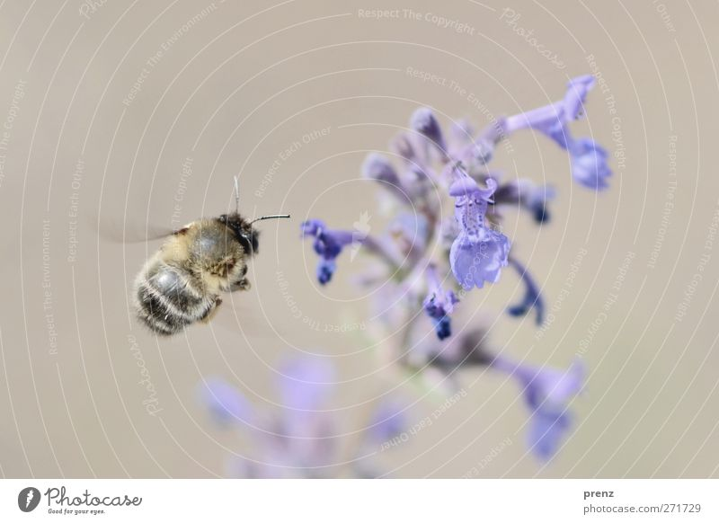 more beautiful flying 2 Environment Nature Plant Animal Spring Blossom Wild animal Bee 1 Blue Gray Insect Floating Flying Balm Colour photo Exterior shot