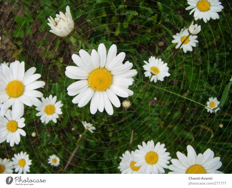 Daisy Olé Fragrance Trip Gardening Agriculture Forestry Nature Summer Plant Flower Blossom Meadow Flower meadow Positive Yellow Green White Peaceful Truth