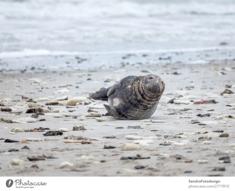 A grey seal lies on the beach on Helgoland Beach Animal Ocean Wild animal Seals 1 Love of animals tideland Animal Themes coast cute Dunes Europe Germany