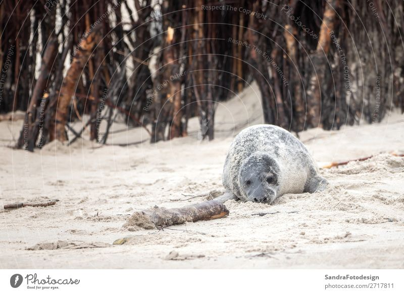 A grey seal lies on the beach on Helgoland Beach Nature Animal Coast Wild animal 1 Contentment tideland Animal Themes cute Dunes Europe Germany gray seal
