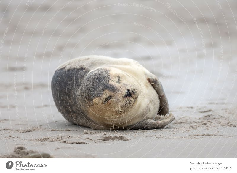 A grey seal lies on the beach on Helgoland Beach Nature Coast Animal Wild animal 1 Contentment tideland Animal Themes cute Dunes Europe Germany gray seal