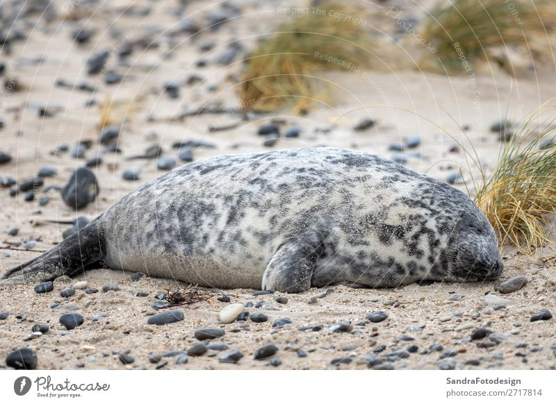 A grey seal lies on the beach on Helgoland Beach Nature Animal Coast Wild animal 1 Contentment tideland Animal Themes cute Dunes Europe gray seal Iceland mammal