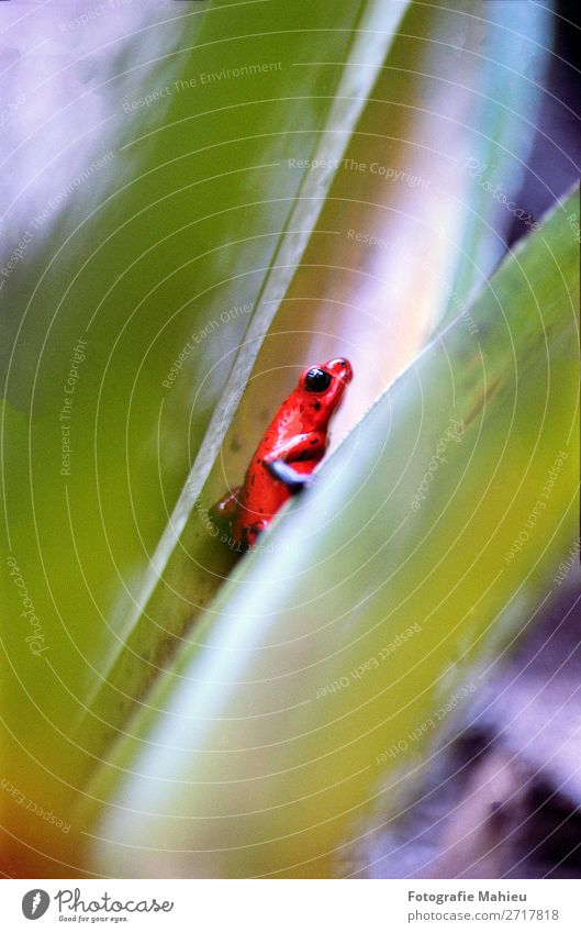 blue-jeans frog Nature Blue Green Red Tree Animal Leaf Forest Black Eyes Natural Small Rain Wild Jump Sit