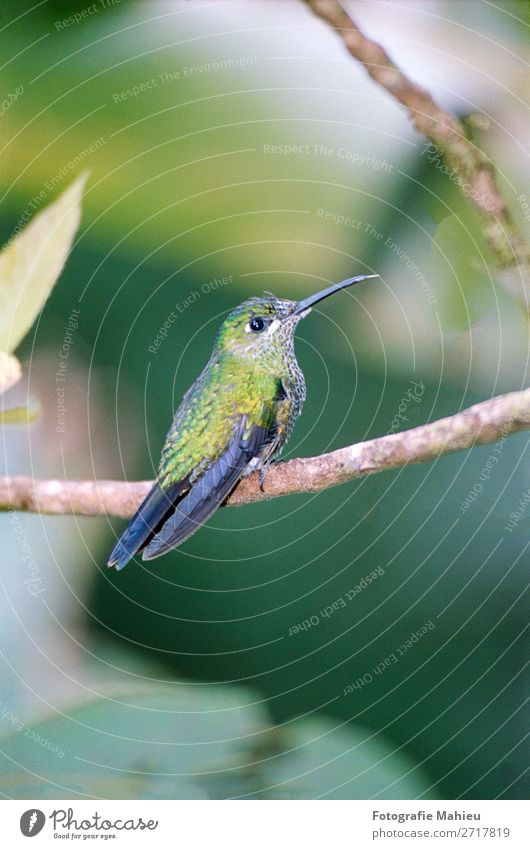 humming bird Exotic Beautiful Decoration Art Nature Animal Flower Leaf Forest Virgin forest Bird Bright Small Natural Wild Blue Green White Colour Costa Rica