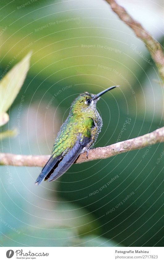 Humming bird sitting on an branch in a tropical forest in Costa Rica Exotic Beautiful Decoration Art Nature Animal Flower Leaf Forest Virgin forest Bird Bright