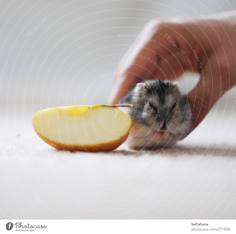 Karli Attention, Camera &... Human being Adults Life Hand 1 Animal Pet Animal face Pelt Paw To feed Feeding Sit Small Hamster Pygmy Hamster Jungle Tanager Apple