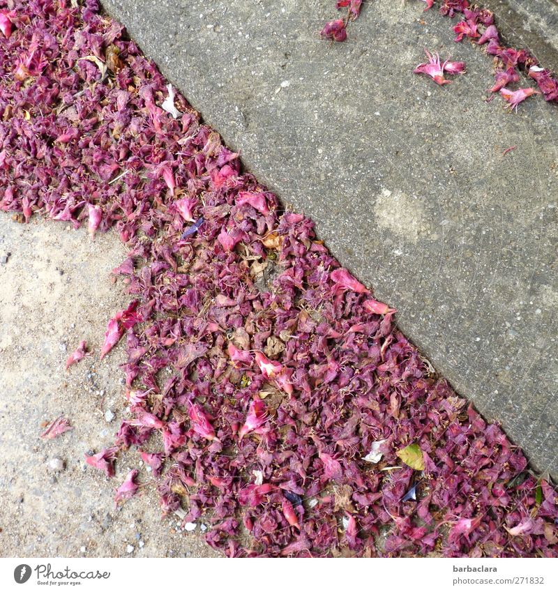 transient beauty Spring Plant Blossom Village Street Sidewalk diagonal To fall Faded To dry up Esthetic Beautiful Gray Pink Moody Colour Life Senses Transience