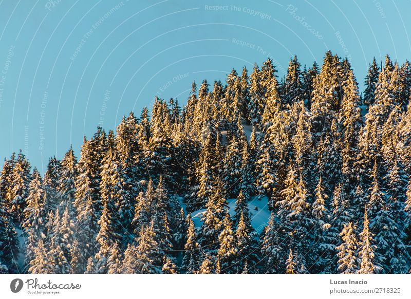 Grouse Mountain in North Vancouver, BC, Canada Winter Snow Environment Nature Tree Leaf Hill Adventure America American British Columbia Canadian Conifer