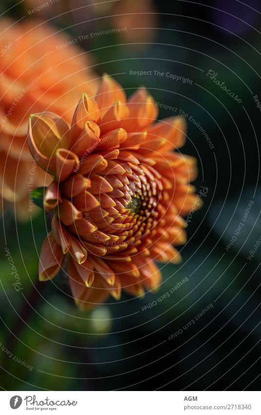 Dahlia golden orange Nature Plant Autumn Flower Blossom Park Bouquet Fragrance Growth Happiness Joie de vivre (Vitality) Endurance asteraceae dahlia