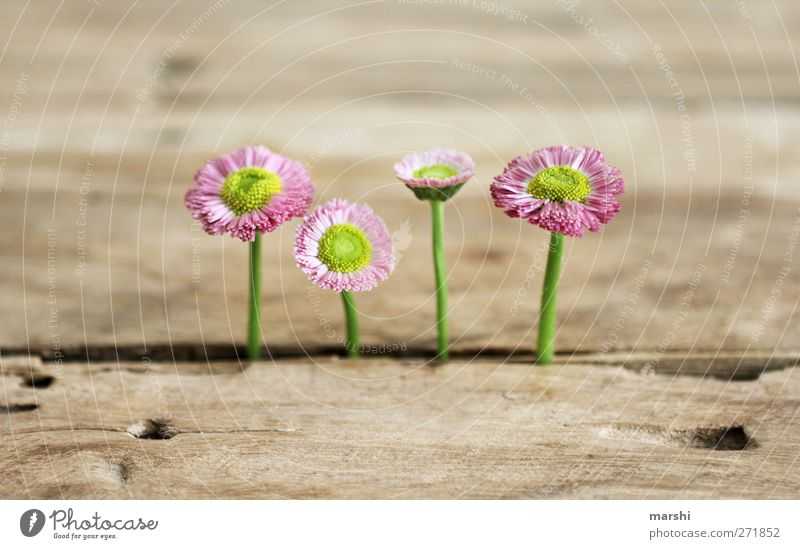 four wins Plant Flower Pink Wood Wooden table Weed Daisy Wild Beautiful 4 Growth Background picture Colour photo Interior shot Close-up Detail