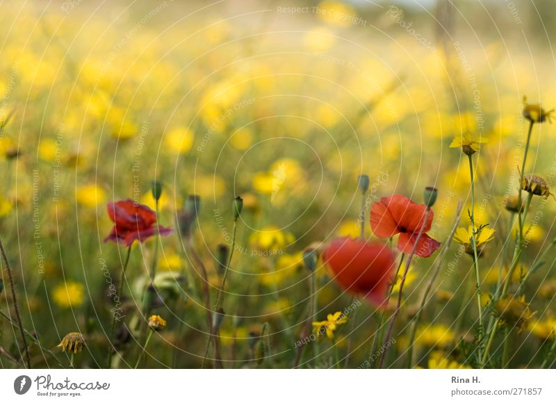 Nature Red Plant Summer Environment Yellow Meadow Warmth Natural Idyll Beautiful weather Blossoming Poppy Joie de vivre (Vitality) Faded Wild plant