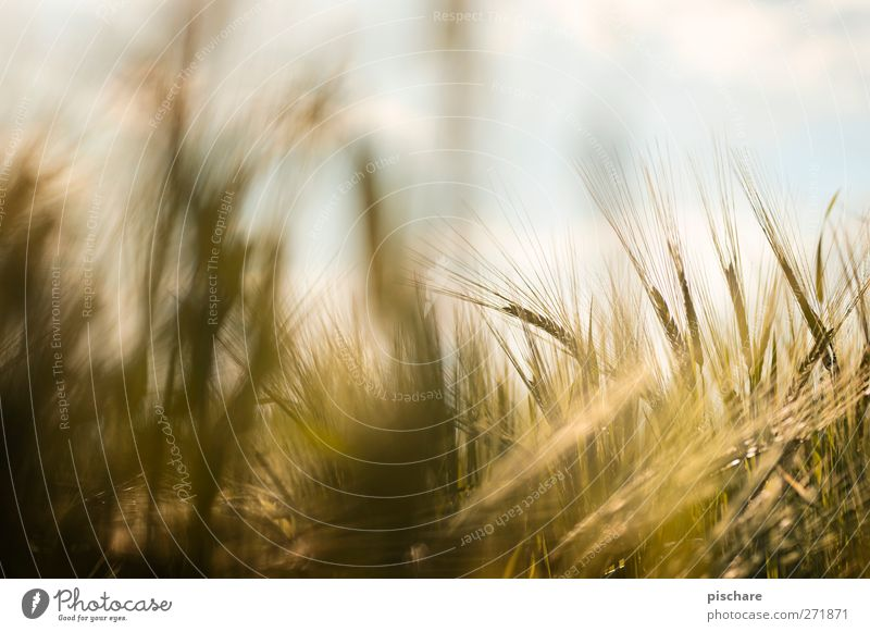grain Nature Sky Agricultural crop Field Yellow Gold Harvest Grain Colour photo Exterior shot Close-up Detail Day Blur Shallow depth of field