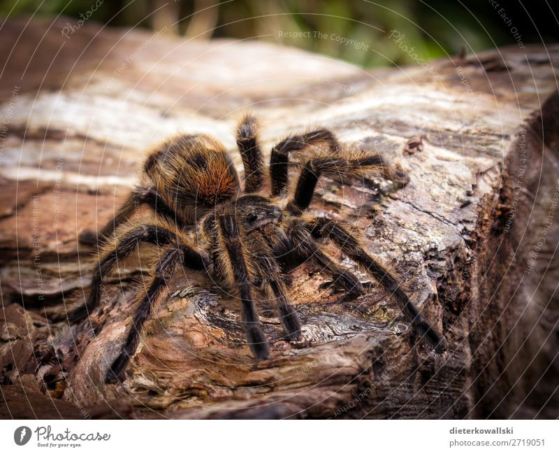 spider Environment Nature Landscape Animal Farm animal Wild animal Spider Hunting Threat Disgust Creepy Beautiful Love of animals Fear Horror Bird-eating spider