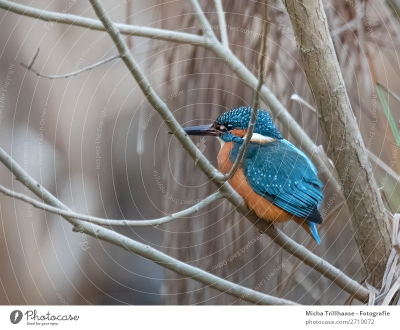 Kingfisher in a bush Nature Animal Sunlight Beautiful weather Bushes River bank Wild animal Bird Animal face Wing Claw Beak Eyes Feather 1 Observe Glittering
