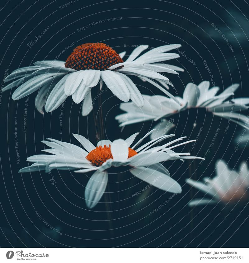 beautiful daisy flower Nature Summer Plant White Flower Winter Autumn Garden Decoration Beauty Photography Blossom leave Floral