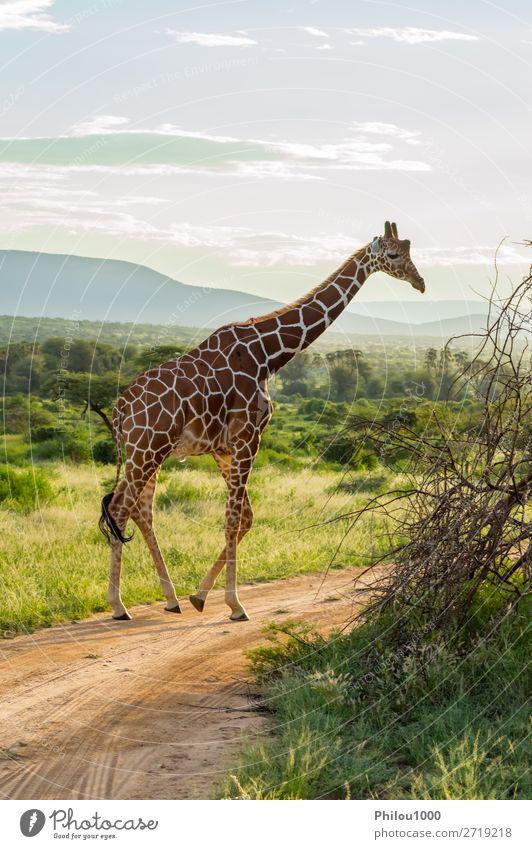 Giraffe crossing the trail in Samburu Park Beautiful Face Safari Mouth Nature Animal Long Cute Wild Brown Green White Africa african background head Herbivore